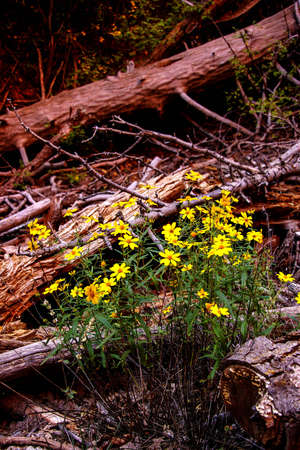 taylor: Yellow wildflowers along the riverbed  along the Taylor Creek trail, Kolob Canyon, Zion National Park, Utah Stock Photo