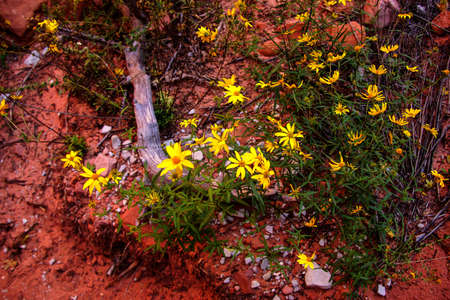 yellow wildflowers: Yellow wildflowers along the riverbed  along the Taylor Creek trail, Kolob Canyon, Zion National Park, Utah Stock Photo