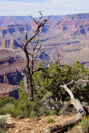 snag: Twisted juniper tree, growing on the South Rim at the Grand Canyon National Park, Arizona