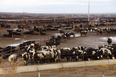泥だらけの肥育、セントラル バレー、カリフォルニア州内の混雑を黒と白の牛