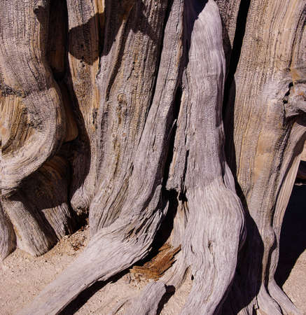 Great Basin bristlecone pine (Pinus longaeva),  on ridge of Spectra Point. The oldest living  organism, living for  thousands of years, Cedar Breaks National Monument, Utah