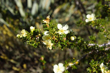 mexicana: Cliff rose, flower detail (Cowania mexicana), white cinquefoil, growing on canyon rim at the Grand Canyon National Park, Arizona