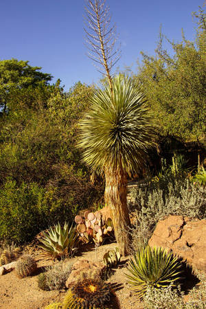 century plant: Beaked yucca (Yucca thompsoniana) century plant, Boyce Thompson Arboretum State Park, Arizona
