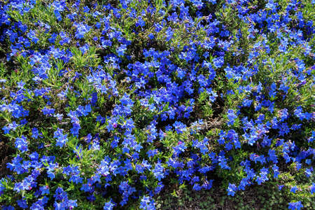 perennial: Perennial dark blue flowers (Lithospermum  diffusum )in Seattle rock garden Stock Photo