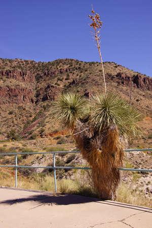 century plant: Beaked yucca (Yucca thompsoniana) century plant,  Salt River Canyon, Arizona