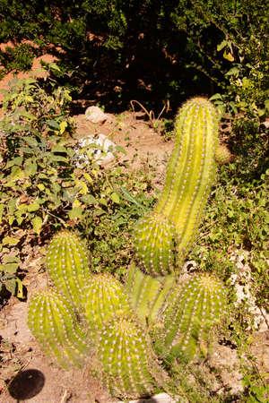toothpick: Toothpick cactus ( Stetsonia coryne )Boyce Thompson Arboretum State Park, Arizona