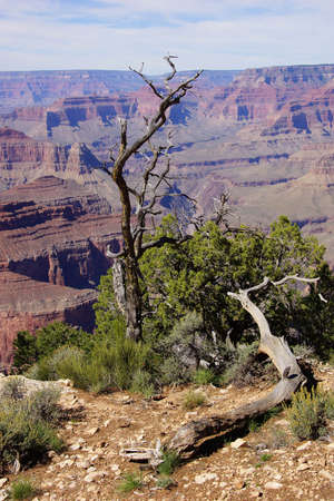 south rim: Twisted juniper tree, growing on the South Rim at the Grand Canyon National Park, Arizona