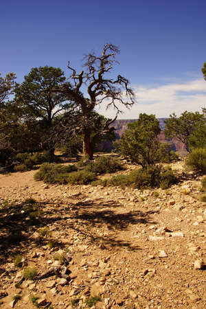 juniper tree: Twisted juniper tree, growing on the South Rim at the Grand Canyon National Park, Arizona