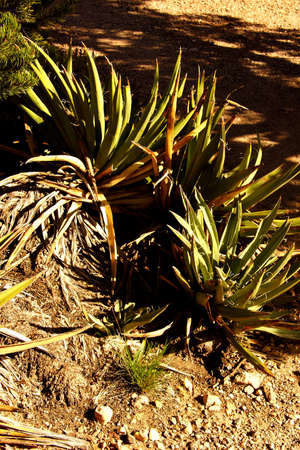 national plant: Agave plant along the Rim Trail at the Grand Canyon National Park, Arizona