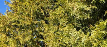 victoria bc: Detail, cedar branches  in  Beacon Hill Park, Victoria, BC, Canada Stock Photo
