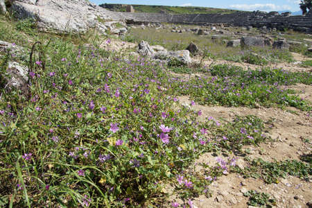 Paarse wilde bloemen overleven tussen de ruïnes van het Romeinse stadion hippodroom Perge, Turkije