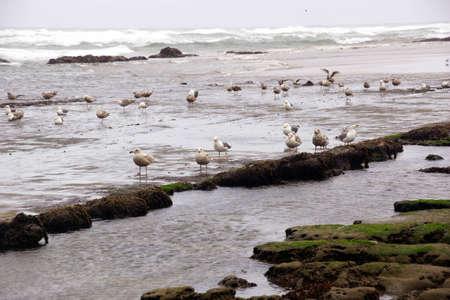 head in the sand: Seagulls foraging along the coastal sand beach at low tide,  near Yaquina Head, Newport, Oregon coast Stock Photo