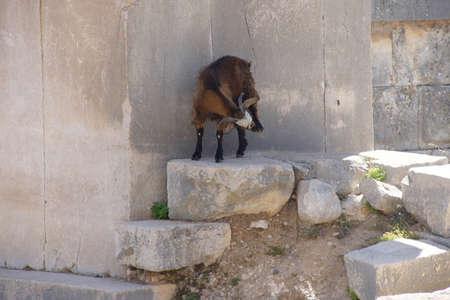 Goat walking along ancient cemetery tombs  Xanthus ( Xantos) , Turkey
