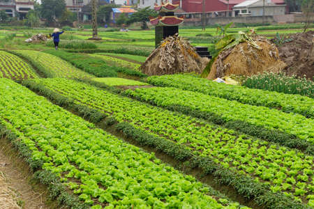 irrigated: Raised beds of lettuce in irrigated field along the Red River near Haiphong Vietnam