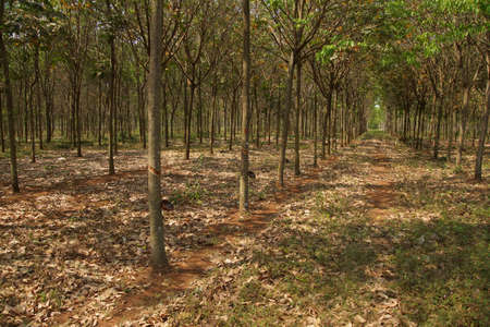 thom: Rows of rubber trees in plantation near  Kampong Thom,  Cambodia Stock Photo