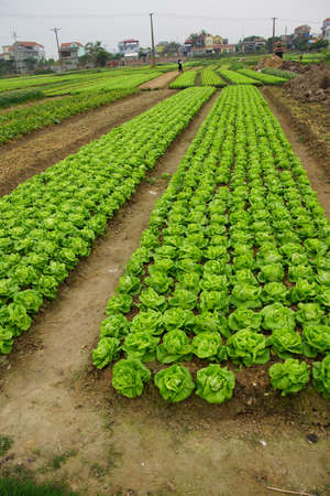 Raised beds of lettuce in irrigated field along the Red River near Haiphong Vietnam