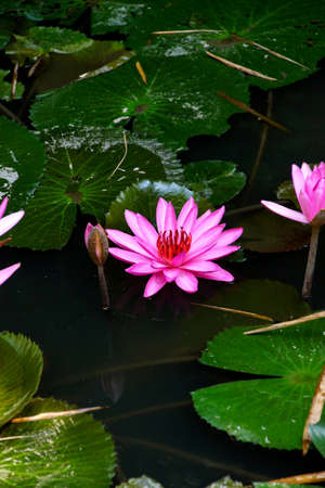 fuschia: Fuschia water lilies and lilypads in a pond,  Mekong River delta,  Vietnam