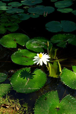 Water lilies and lilypads in a pond,  Mekong River delta,  Vietnam Stock Photo