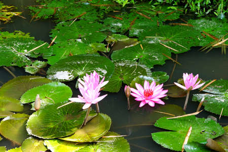 Fuschia water lilies and lilypads in a pond,  Mekong River delta,  Vietnam