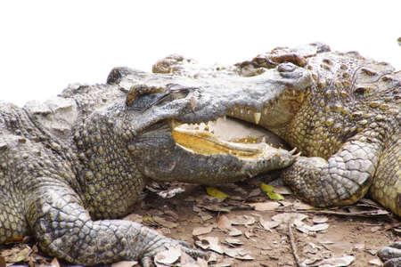 adult vietnam: Adult crocodile with gaping jaws Long Xuyen Crocodile Farm, Mekong Delta,  Vietnam Stock Photo