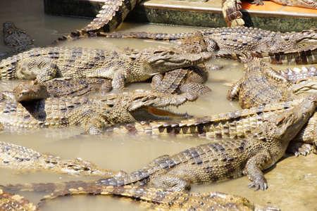 adult vietnam: Adult crocodiles at rest and sleeping Long Xuyen Crocodile Farm, Mekong Delta,  Vietnam