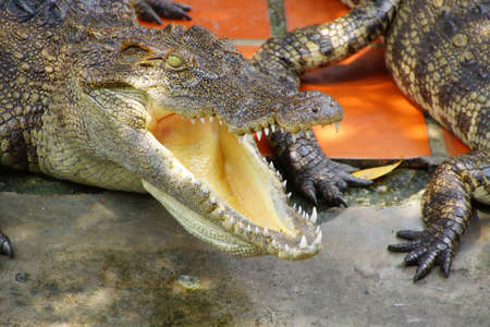 Adult crocodile with gaping jaws Long Xuyen Crocodile Farm, Mekong Delta,  Vietnam Archivio Fotografico