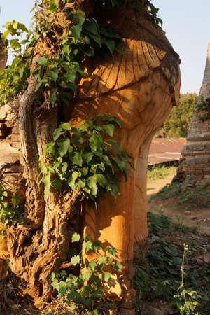strangler: Strangler fig tree engulfs an ancientt Buddhist stupa at In Dein on Inle Lake Myanmar (Burma)
