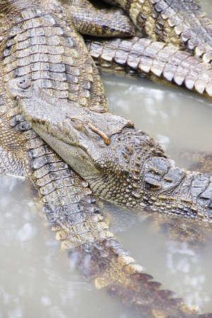 Juvenile crocodiles at rest and sleepibng Long Xuyen Crocodile Farm, Mekong Delta,  Vietnam photo