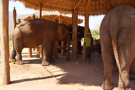 big ass: Rear end of large elephant,  Elephant conservation camp near Kalaw Myanmar (Burma)