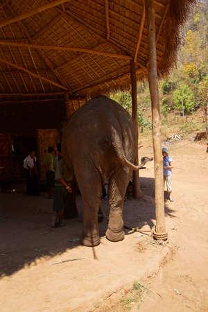 grosse fesse: Extr�mit� arri�re du grand �l�phant, Elephant camp de conservation pr�s de Kalaw Myanmar (Birmanie) Banque d'images