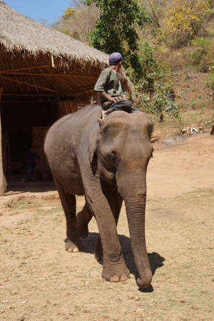 mahout: Mahout rides his elephant in the  Elephant conservation camp near Kalaw Myanmar (Burma) Editorial