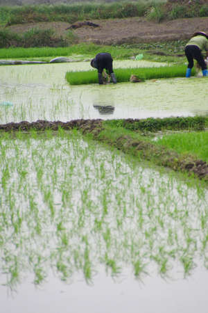 flooded: Vietnamese woman transplanting rice in flooded paddiesalong the Red River near Haiphong Vietnam Stock Photo