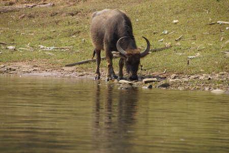 near: Water buffalo grazing,  along the Dokthawaddy River, near Hsipaw, Myanmar (Burma)