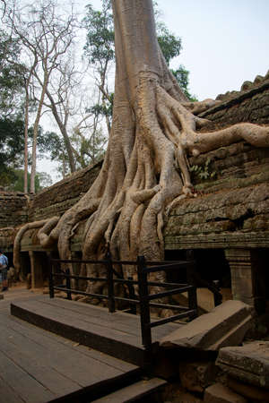 Huge tree roots engulf the ruined temple of Ta Prohm,  Cambodia Фото со стока