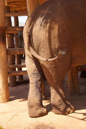grosse fesse: Extrémité arrière du grand éléphant, Elephant camp de conservation près de Kalaw Myanmar (Birmanie) Banque d'images