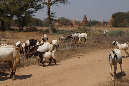 grazing: Herd of goats grazing with ancient stupas and temples in background, Bagan Myanmar (Burma)