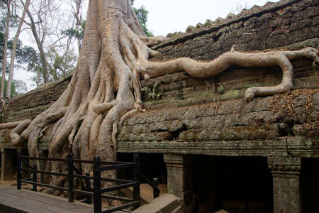 invasive plant: Huge tree roots engulf the ruined temple of Ta Prohm,  Cambodia Stock Photo