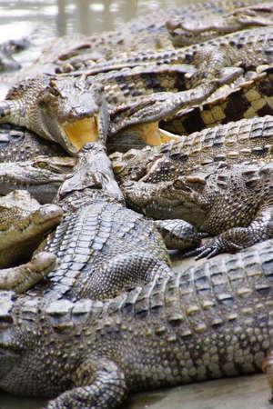 gaping: Juvenile crocodile with gaping jaws Long Xuyen Crocodile Farm, Mekong Delta,  Vietnam