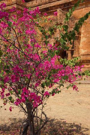 Bougainvilea Ywa Haung Gyi 붉은 사암, Bagan 미얀마 (버마)