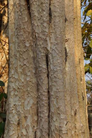 Boomstam en schors van Chambak (Simaroubaeae Irvingia malayana) op grond van Ta Prohm Cambodja Stockfoto