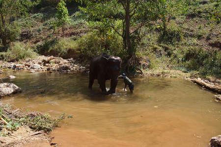 칼루, 버마 -2007 년 2 월 27 일 - Mahout 그의 코끼리 일일 목욕, 코끼리 보전 캠프 Kalaw 미얀마 (버마)