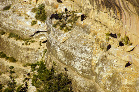roosting: Turkey vultures ( Cathartes aura ) roosting on canyon cliffs on the South Rim Trail,at the Grand Canyon National Park, Arizona