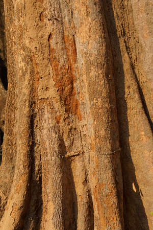Tree trunk and bark of Chambak ( Simaroubaeae  Irvingia malayana)  on grounds of Ta Prohm Cambodia