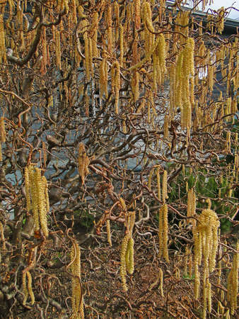 contorted: Catkins on contorted tree, (Old man Henrys walking stick ) early spring in Seattle
