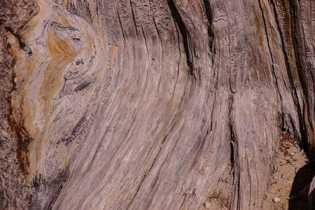 bristlecone: Great Basin bristlecone pine