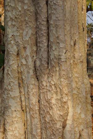 Boomstam en schors van Chambak (Simaroubaeae Irvingia malayana) op grond van Ta Prohm Cambodja