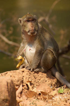 foraging: Long tailed macaque ( Macaca fascicularis ) foraging in outer area of Angkor Wat,  Cambodia