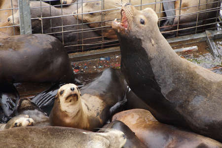 noises: California sea lion barking to claim territory on a crowded wharf,  (Zalophus californianus) , Newport Bay Harbor,Oregon coast Stock Photo
