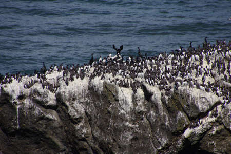 Common Murres ( Uria aalge ) and pelagic cormorant (Phalacrocorax pelagicus), nesting on sea stack,  Cobble Beach, Yaquina Head,  Oregon Coast photo