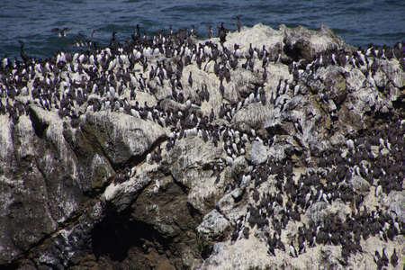 nesting: Common Murres ( Uria aalge ) and pelagic cormorant (Phalacrocorax pelagicus), nesting on sea stack,  Cobble Beach, Yaquina Head,  Oregon Coast